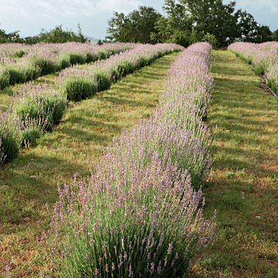 lavendar-blooms-l