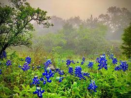 Vintage Oaks New Braunfels TX Bluebonnets