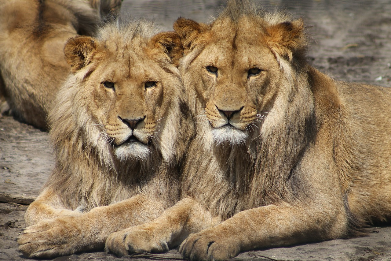 lions-1660044_1280